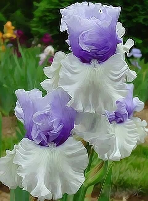 Beautiful irises                                                                                                                                                      Mais
