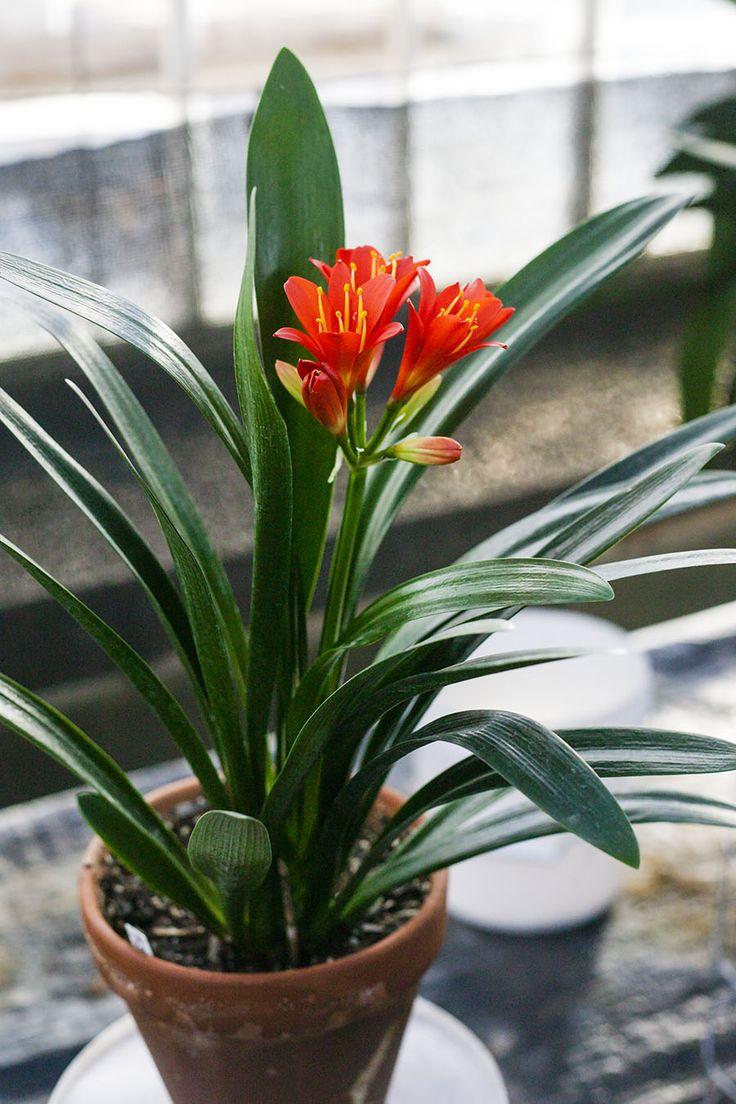 Clivia miniata, TO Red x Hirao Red.  Colorado Clivia's plant no. 92D.