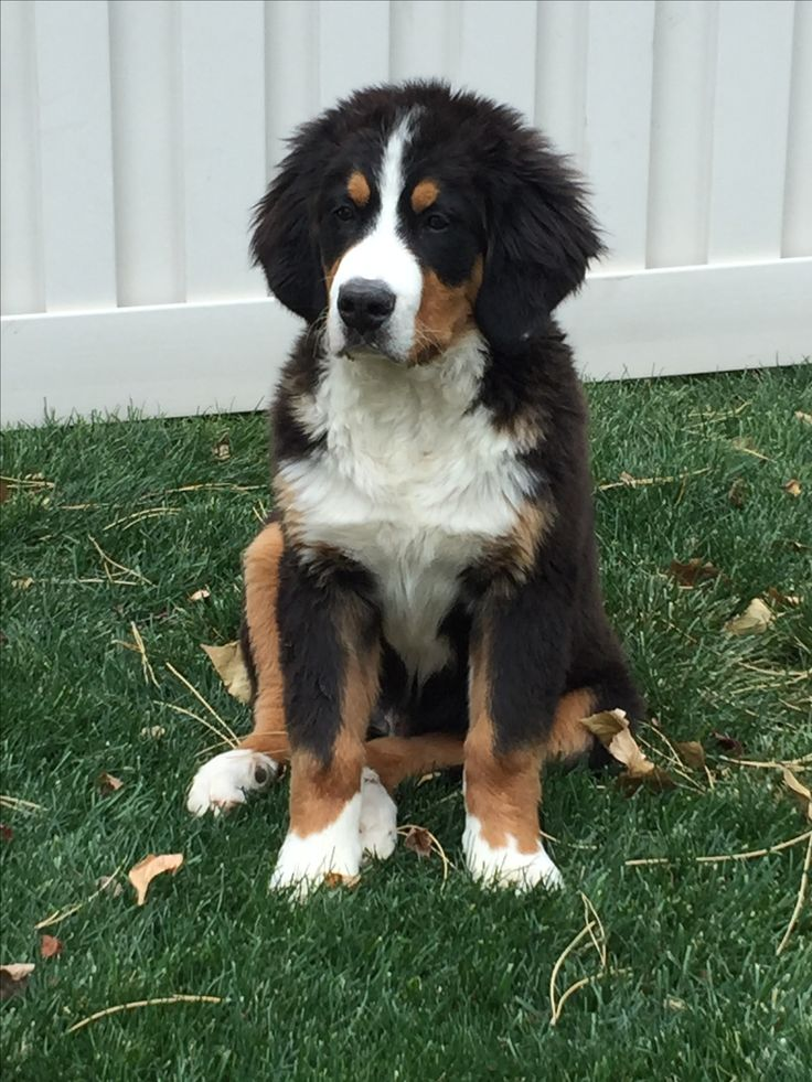 1000 ideas about bernese mountain dogs on pinterest mountain dogs bernese mountain puppy and dog. Black Bedroom Furniture Sets. Home Design Ideas
