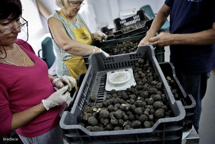 A magyar termés nagy része nyári és téli szarvasgomba