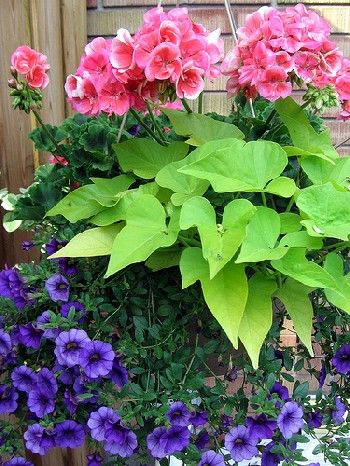 Potato Vine is a great contrast in your flower beds