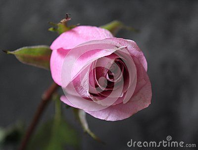 One, beautiful pink rose with marble background