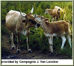 """The N'Dama breed is the most representative """"Bos Taurus"""" breed in West Africa. The origin of this breed is located in the Fouta-Djallon highlands of Guinea (Conakry). From there the N'Dama has spread in the sudanian and guinean regions."""