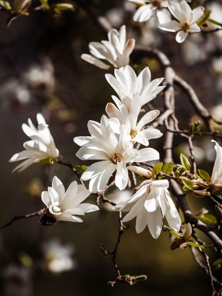 Er du så heldig å ha en Magnolia kobus i hagen, kan du fint drive kvister i blomst innendørs.