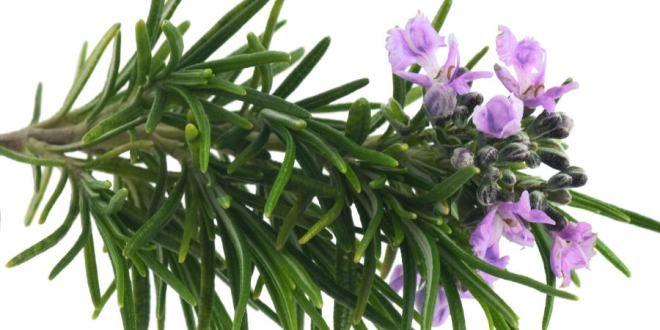 rosmarino proprietà benefici utilizzo rimedi naturali controindicazioni effetti collaterali