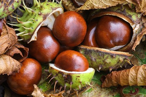 Horse Chestnuts have many health benefits.  Poor circulation and other vascular problems. ****I just read horse chestnuts are poisonous to humans, so please research before eating them****