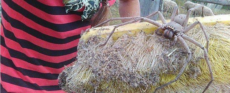 2nd largest Huntsman spider ever found (Queensland,Australia)
