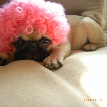 everyone needs a pink pug afro! happy thursday everyone