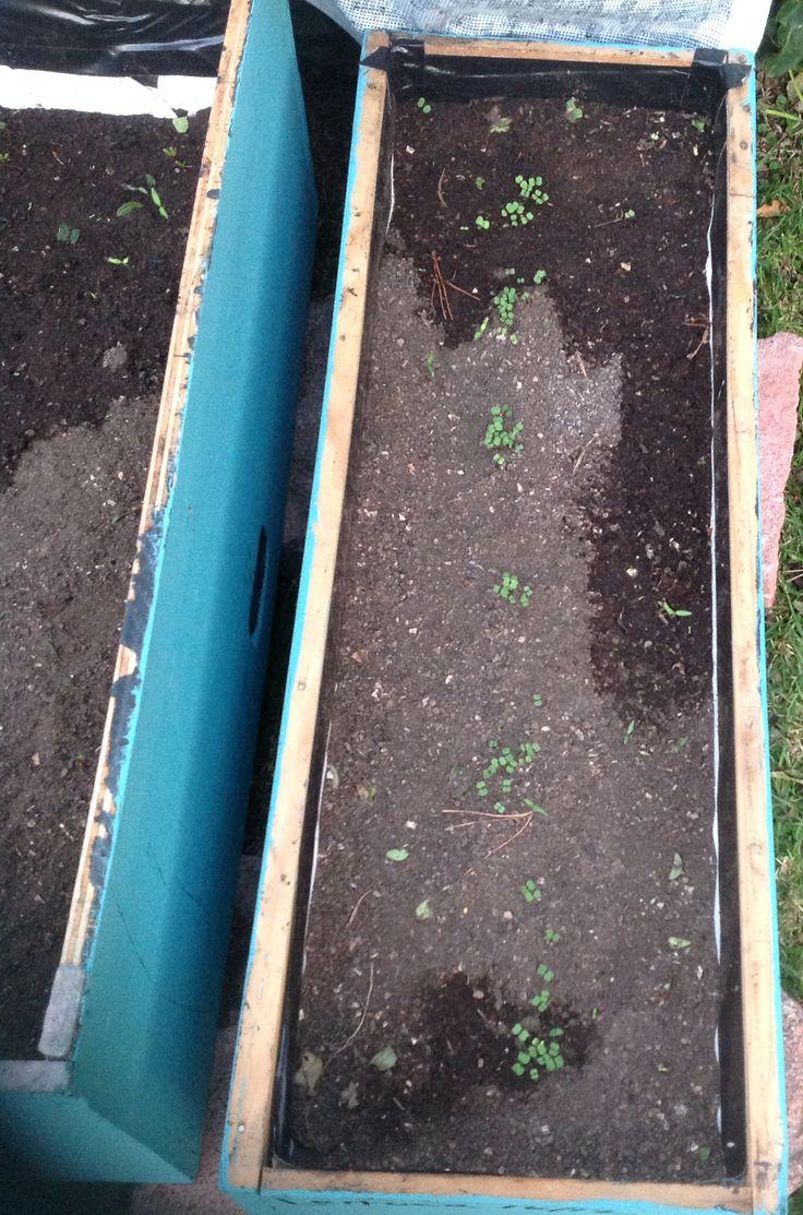 lechugas a 15 días de ser sembradas.