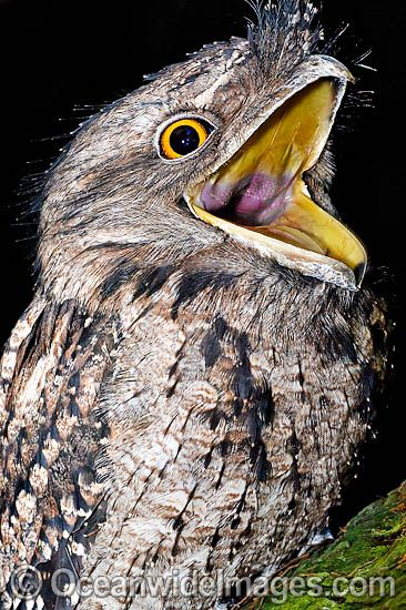 tawny frogmouth - Google Search