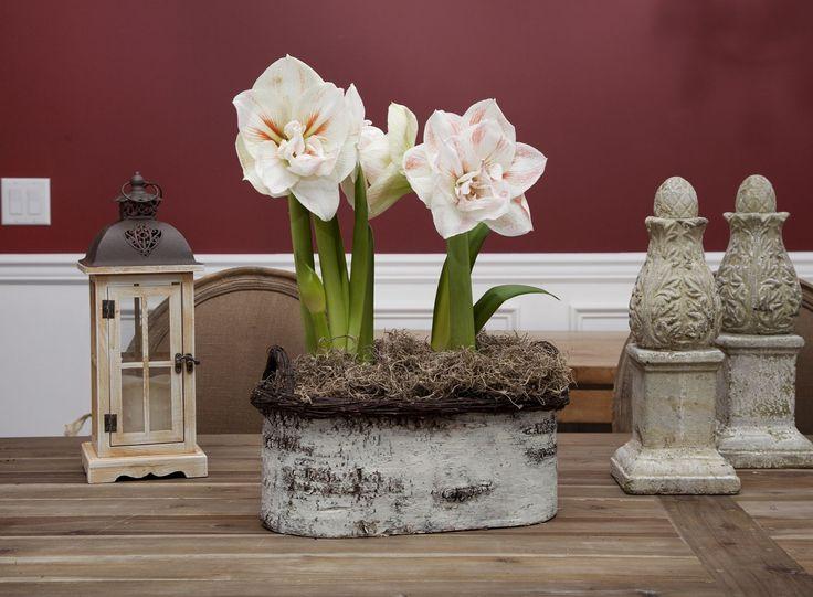 Амариллис: цветущая роскошь на вашем подоконнике http://happymodern.ru/amarillis/ Для посадки используют горшки, объём которых определяется величиной луковицы
