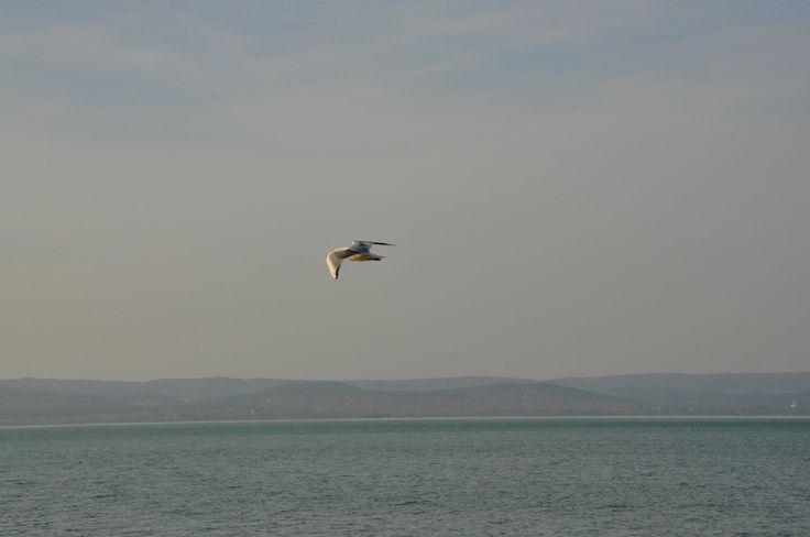 Balatonföldvár. Sirály repte kékség az őszben. Seagull. Autumn.Balaton. Hungary.