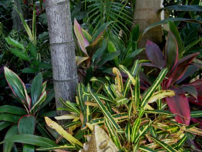 best site for pics of different cordyline varieties