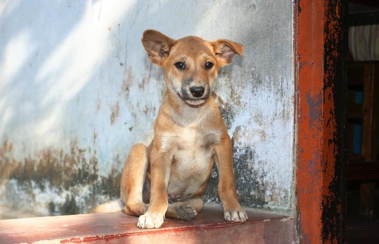 Deze eigenwijs kijkende kleine hond Kamen we tegen tijdens ons Red Collar programma in Bangladesh. In het dorpje Cox's Bazaar vaccineerden we honden tegen hondsdolheid. Zo zijn zij en hun eigenaren veilig voor deze nare ziekte. Meer informatie over Red Collar vind je www.redcollar.nl