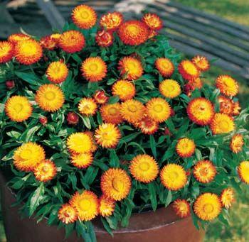 Everlasting daisies great in pots... (Xerochrysum Sundaze Bronze)