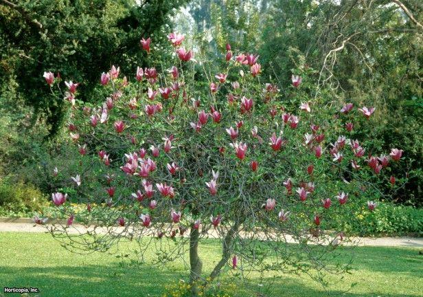 magnolia liliiflora nigra - centraal in voortuin. soort zou iets kleiner blijven. Bloeit ongeveer mei.