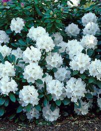 Alppiruusu Cunningham´s White