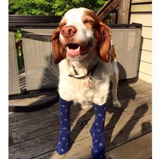 Esta cadela usando meias como uma verdadeira rainha. | 27 cães calçando meias que vão melhorar seu dia