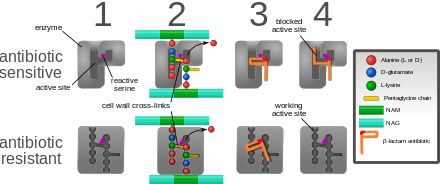 Diagram depicting antibiotic resistance through alteration of the antibiotic's target site, modeled after MRSA's resistance to penicillin. Beta-lactam antibiotics permanently inactivate PBP enzymes, which are essential for bacterial life, by permanently binding to their active sites. MRSA, however, expresses a PBP that does not allow the antibiotic into its active site.