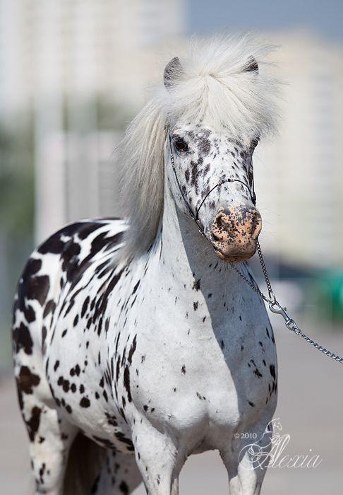 Dutch Appaloosa Pony mare Brenda