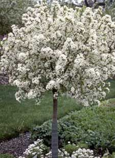 Crabapple Lollipop - small ornamental tree