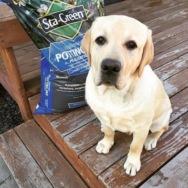 Is the garden winterproof already? 📷 creditsby @angus_theyellowlab Instagram  More lovable labradors check: https://www.instagram.com/labradortime   #whitelabrador  #labrador #labradors #dog #dogs