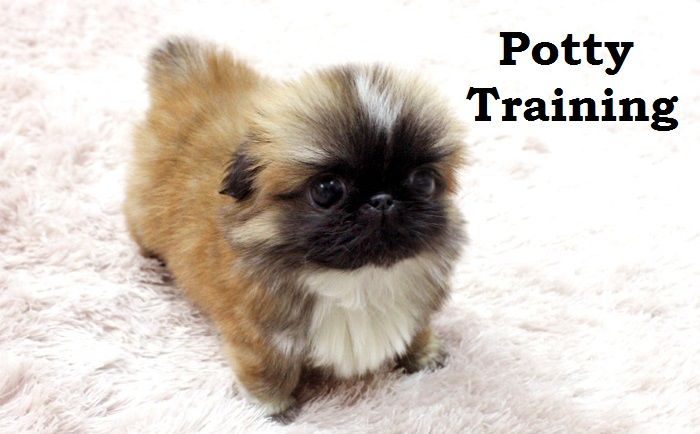 Pekingese Puppies. How To Potty Train A Pekingese Puppy. Pekingese House Training Tips. Housebreaking Pekingese Puppies Fast & Easy. Share this Pin with anyone needing to potty train a Pekingese Puppy. Click on this link to watch our FREE world-famous video at ModernPuppies.com