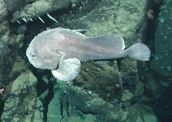 Глубоководная отвратительная рыба - рыба Капля