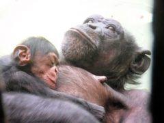 横浜の野毛山動物園が名前を募集していたチンパンジーの赤ちゃんの名前が決定 健康で幸福に育って欲しいと願いを込めてコウタロウ幸太郎と名づけられたんだって それにしてもこの寝顔には堪らなく癒されるな tags[神奈川県]