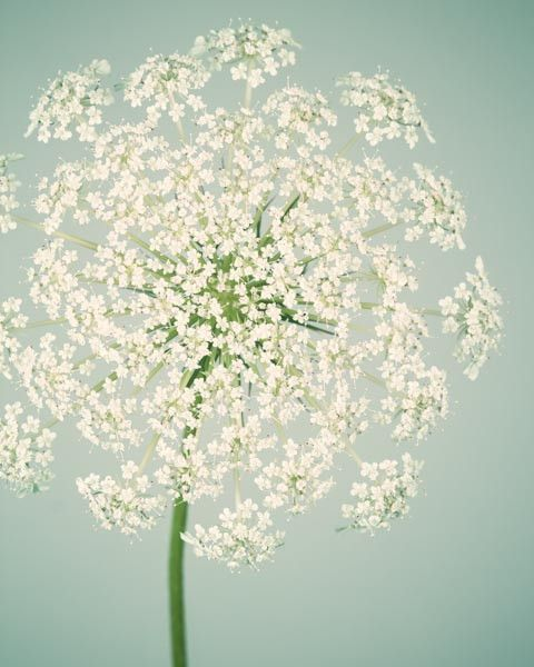 "Fine Art Flower Photography Print """"Queen Anne's Lace No. 6"""""