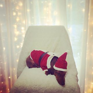 A sleepy little Santa Paws. | Community Post: 20 Adorable Dachshunds Who Are Totally Ready For Christmas