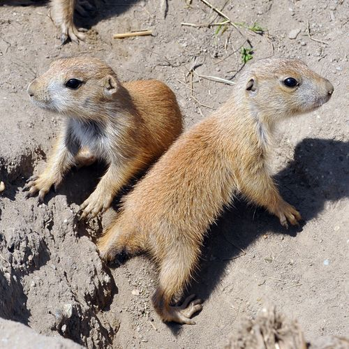 Baby Prairie Dogs | www.imgkid.com - The Image Kid Has It!