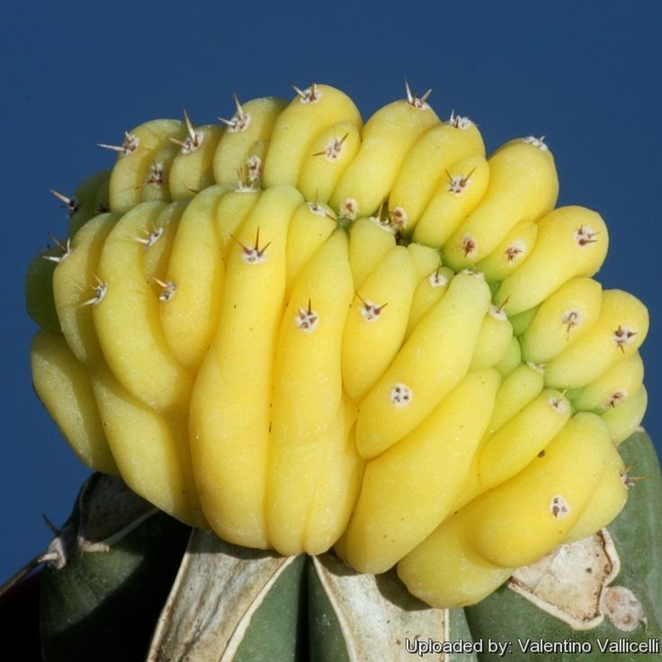 Echinopsis pachanoi f. cristata aurea