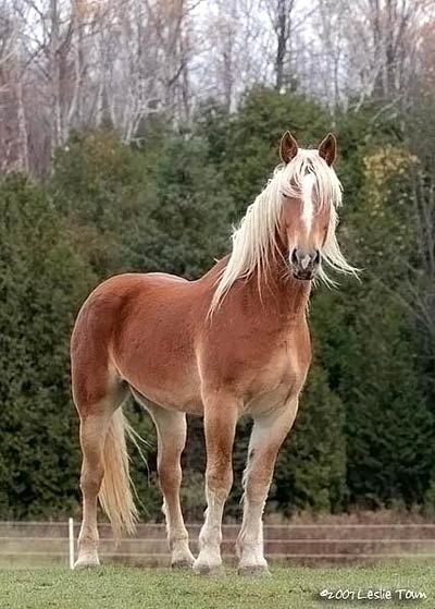 Belgian draft horse cross