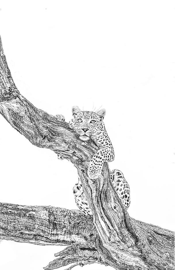 BW wildlife print of a leopard in a tree