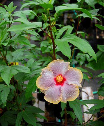 Hibiscus Exotic 'Spray de Mar'