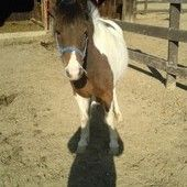 Lulu, bay and white shetlend Shetland pony for sale in Newville, Pennsylvania :: HorseClicks