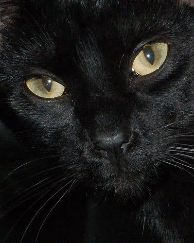 Primo piano di Gatto Nero