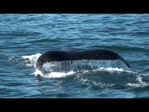 Whale watching in Hermanus - http://southafricanexperience.com/whale-watching-in-hermanus/