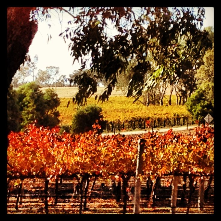 Stunning Autumn colour in Padthaway, Limestone Coast South Australia; image by Margaret Hage.