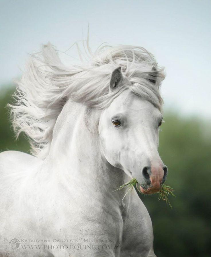 equinecanada: Katarzyna Okrzesik Fotografía Fiordo Pony semental Sunwillow Galong