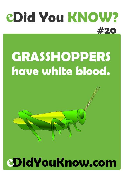 Grasshoppers have white blood. http://edidyouknow.com/did-you-know-20/