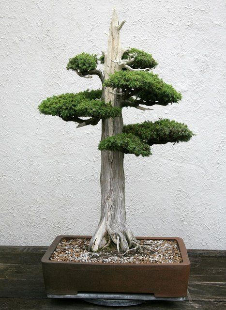 Fancy - Juniper Bonsai Tree: Love Bonsi Trees this is sooo pretty..must have. Never seen one like it.
