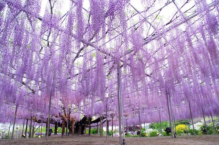 The Most Beautiful Wisteria Tree in the World. A 143-year old Japanese wisteria in Ashikaga Flower Park, is the largest and oldest in Japan. The branches are supported by a structure of beams and poles.