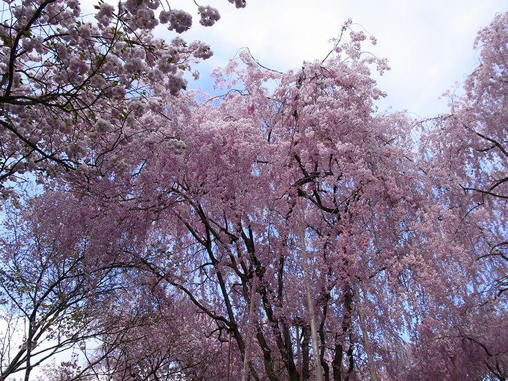 竜安寺近くに枝垂れ桜がたくさんありました