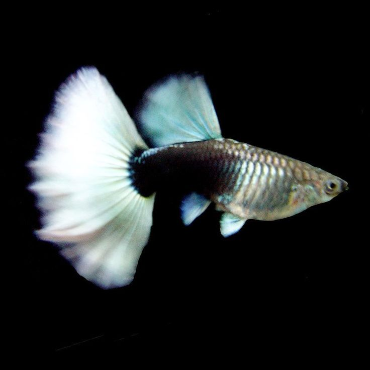 1000 images about colorful guppies on pinterest guppy for Fancy guppy fish