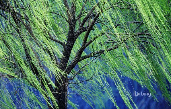 Обои картинки фото дерево, плакучая ива, весна, ветки