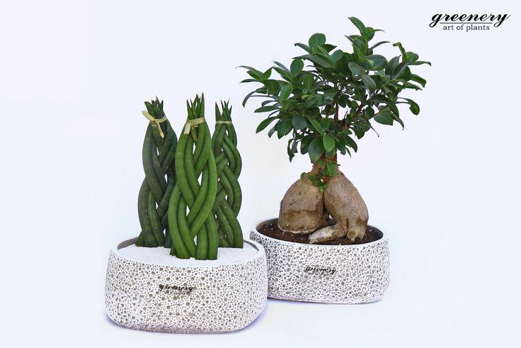 Bonsai and Sansevieria! #greenery #decoration #plants #home #bonsai #greece