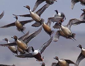 Inspirational Goose Hunting Wallpaper