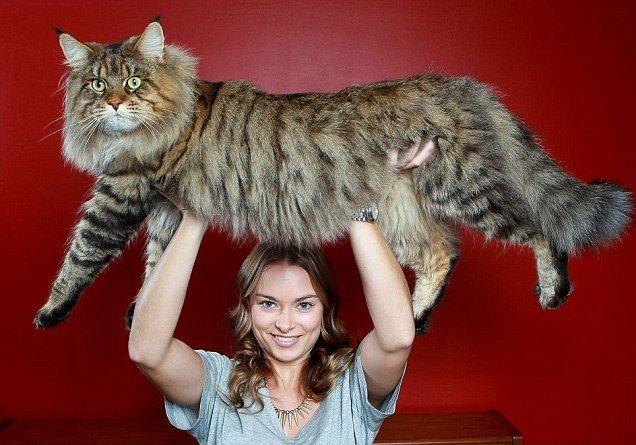 Maine Coon Cat - Rupert is 20 #, still growing!